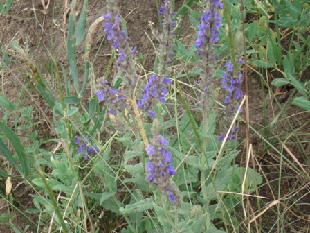 Шалфей степной (Salvia stepposa)